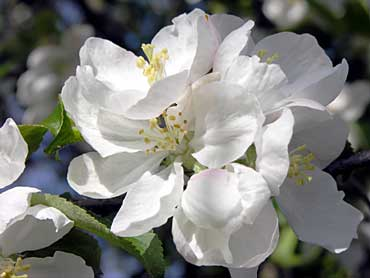 spring blooming photos, apple tree in bloom picture