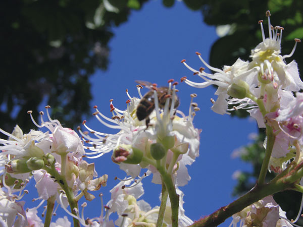 blooming horse chestnut Krzewy i drzewa