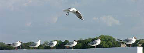 Seagulls i drabbningbildande
