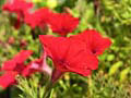 common petunia photo