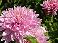 aster flower photo