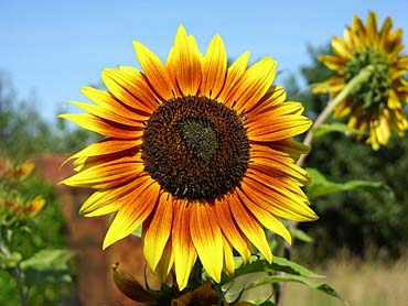 sunflowers images