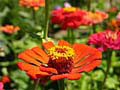 zinnia flower photos