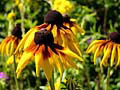black-eyed Susan -photos, summer flowers photos