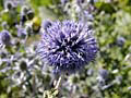 Echinops - sphered flower