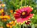 Colorful gaillardia - Gaillardia