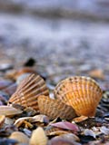photos -photos shells. shells adn sea, little shells