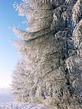 The hoar-frost on trees