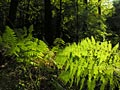 ferns na floresta