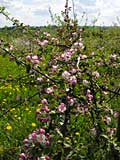 pink flowers of the apple-tree