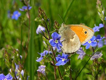 the not large butterfly among blue flowers