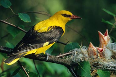 Bird photography - Golden Oriole