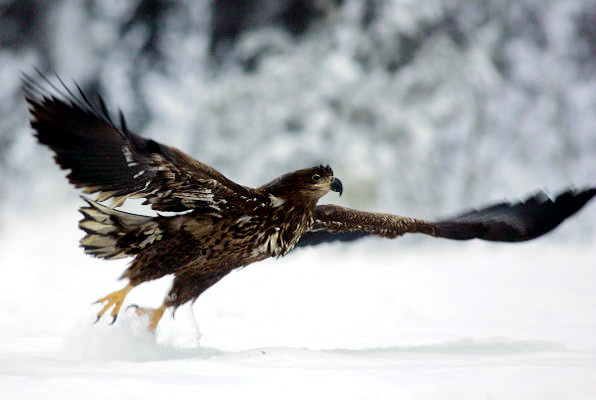 grand aigle Falconiformes