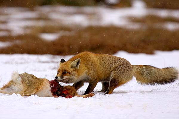 Do Red Foxes Eat Dog Food