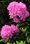 Rododendron - bloem