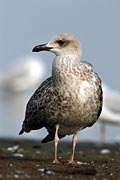 species of gulls + Caspian Gull