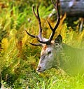 big Red Deer