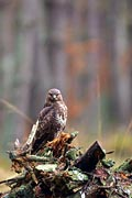Buzzard in forest