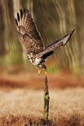 buzzard picture