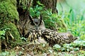 Eagle Owl in forest