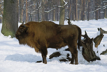 Bison d'Europe photo