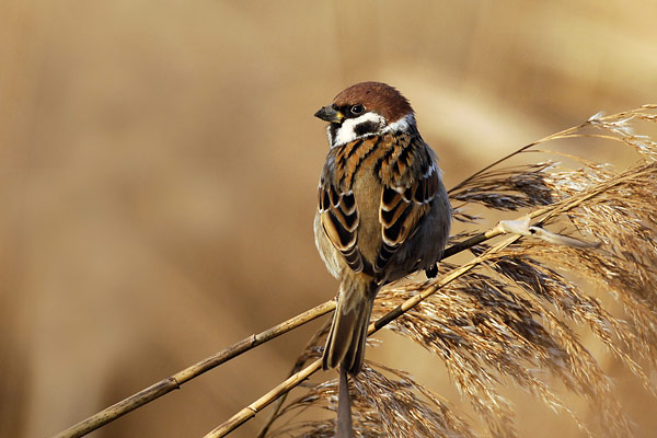 Tree Sparrow photography Bird pictures