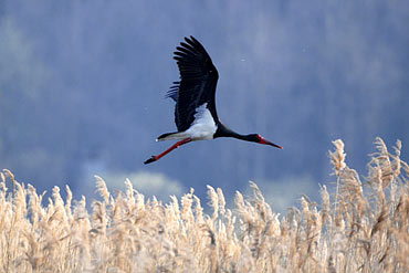 flying Black Stork