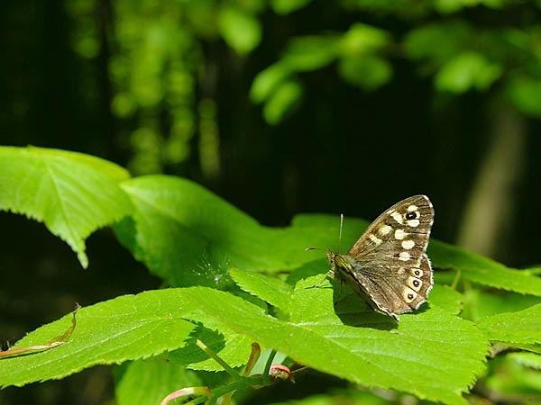 Speckled Wood - forest butterfly Butterflies