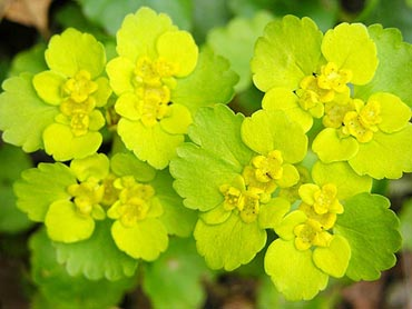 Yellow green flowers flowers pictures wildflowers pictures yellow green flowers mightylinksfo
